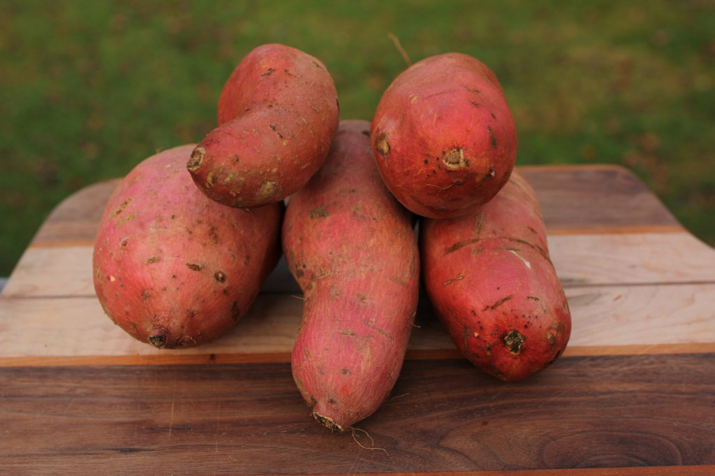 how to grow big sweet potatoes